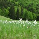 """Rezervaţia naturală """"Poiana Narciselor"""" – cu acces din Valea Feneşuli"""